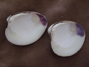 Quahog Shells  $5.00 each
